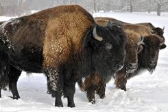 In a photo made Dec. 24, 2010, bison brave the winter elements on the Ed Eichten family farm near Center City, Minn.