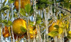 Icicles cling to oranges in Lakeland, Fla., where farmers sprayed their crops to help protect them against a deep freeze. Now incurable bacteria also threaten citrus groves.