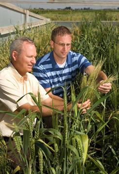 Plant pathologist Mike Bonman, left, and molecular biologist Eric Jackson examine wheat plants  in a stem rust screening plot in Idaho.