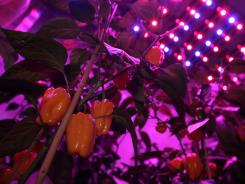Yellow peppers are seen under blue and red Light Emitting Diode (LED) lights at PlantLab, a private research facility, in Den Bosch, central Netherlands, on March 28, 2011