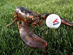 A lobster is posed next to a golf ball made from ground lobster shells in Orono, Maine.