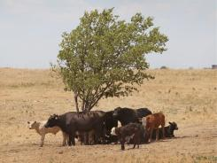 Cattle use a tree for shade as temperatures rose above 100 degrees in a pasture Thursday near Canadian, Texas. A severe drought has caused shortages of grass, hay and water, in much of the state, forcing ranchers to thin their herds or risk losing their cattle to the drought.