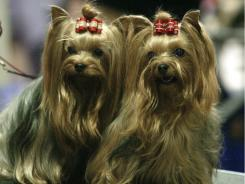 Yorkshire Terriers on a grooming table before a dog show in Ohio.