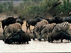 Wildebeests and zebras in South Africa.