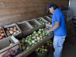 Many of Alabama's agricultural workers chose not to report to work after Alabama's new immigration law took effect.