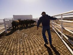 Scott Crain moves cattle Nov. 17 in the Sublette Feeders feedlot near Sublette, Kansas.