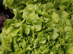 On July 9, 2011, lettuce, grown by organic farmers in Oakville, Wash.