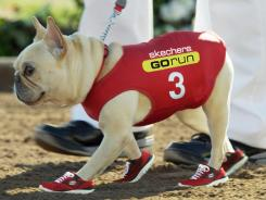 The star of the new Skechers ad is a feisty French bulldog.