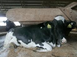 One of Richard and David Conrad's milk cows rests on a sawdust-covered waterbed at their Wellington, Ohio, farm.