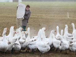 Beatrice Jasiewicz feeds domestic geese on an open field at the Oekohof Kuhhorst organic farm near Berlin.