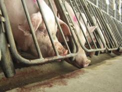 Pigs in gestation crates at a Waverly, Va., farm. 2010 photo.