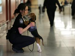 Izzy, an agricultural detector beagle whose nose is highly sensitive to food odors, with Meghan Caffery, a U.S. Customs and Border Protection Agriculture Specialist, at New York's John F. Kennedy Airport's Terminal 4 in February 2012.