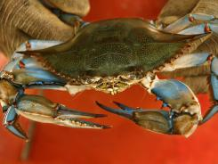 A Maryland blue crab is held by waterman Paul Kellam, of Ridge, Md. in 2008.
