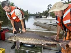 U.S. Fish and Wildlife biologists weigh a Gulf sturgeon April 5 near Milton, Fla., as part of a study of the BP oil spill's impact.