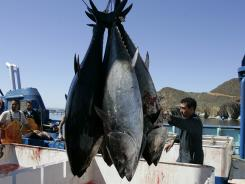 Workers harvest bluefin tuna off Mexico before Japan's nuclear plant explosion, which caused elevated levels of radiation in this type of fish.