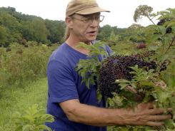 Farmer Terry Durham harvests elderberries near Hartsburg, Mo., last August.