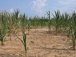 Persisting drought conditions have endangered corn fields in western Kentucky and other parts of the nation.