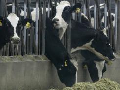 Holstein cows.