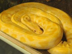 This got your attention, didn't it? It's a real Burmese Python. See the story to find a link to the cake version.