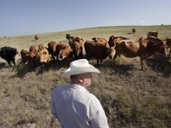 Cattle rancher Ron Gill looks over his herd in Wise County near Boyd, Texas, Aug. 1, 2012. Gill has been cross breeding cattle with more drought tolerant breeds.