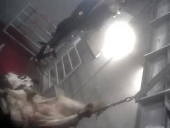 This still image made from video provided by Compassion Over Killing appears to show workers at a Central California slaughterhouse bungling the slaughter of cows.