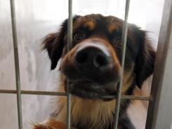 A dog peers out from his kennel at a shelter in the Mission Hills area of Los Angeles.