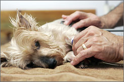 Pebbles, a 7-year-old Yorkshire terrier, is battling kidney failure after eating dog food that was later recalled. New York agriculture officials announced that rodent poison was found in the food.
