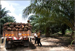 A report issued last year by researchers in Holland studied the carbon released from peat swamps in Indonesia and Malaysia that had been drained and burned to plant palm oil trees. About 85% of the world's palm oil comes from the two countries.
