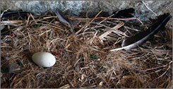 California condors have produced an egg in their cliffside nest inside the Sierra San Pedro de Martir National Park in Baja California, Mexico. This is the first egg laid in Baja California since the California Condor Recovery Program reintroduced the species in 2002.