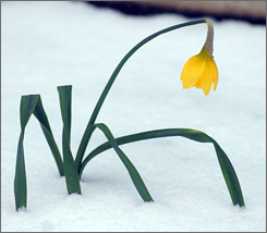Spring snow surrounds a daffodil at the Lucille E. Andersen Memorial Garden Thursday in Saginaw, Mich.