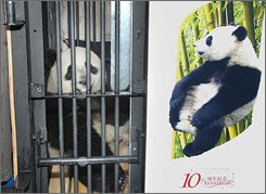 A giant panda known as No. 606 sits in a specially designed cage as it leaves the China Panda Protection and Research Center in Wolong, China, on Thursday.