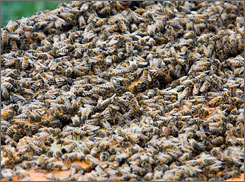 A closeup of honeybees at a farm in Lewisburg, Pa.