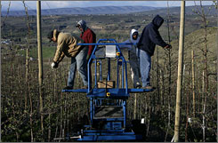 Allan Bros. bought a motorized, automatic-steering harvesting platform that lets up to six pickers work without ladders.