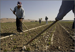 Workers tend to a field of lettuce at an organic farm in California.