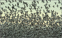 "Snow geese take flight near Pungo Lake in 2003. Jeffrey Short, an expert on birdplane impacts, says, ""If you've got hundreds of thousands of birds flying around. .. you're going to have aircraft flying into them."""