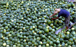 A farmer picks through watermelon in south China's Hainan Province. China is producing more food for export, and that has raised concerns about product safety in the wake of the pet food contamination scandal in the USA.