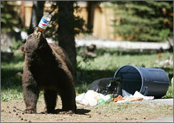 A black bear takes a drink from a plastic soda bottle after trash from Memorial Day weekend was left out for pick-up on Tuesday, near South Lake Tahoe, Calif.