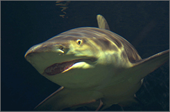  A nurse shark swims at the National Aquarium in Baltimore. 