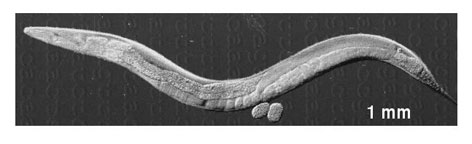 Caenorhabditis elegans, more commonly known as the roundworm, scientifically is the most important worm in world. Its simple structure is revealing clues to the development of the human nervous system.