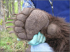 Montana Park authorities recently captured the second-largest grizzly bear ever recorded.  It was captured in the 10,000-square-mile Northern Continental Divide Ecosystem. Its claws, shown here, are 3 1/2 inches long.