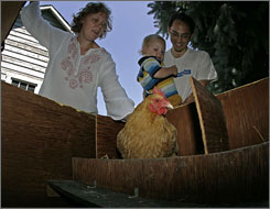 "Molly Waisman, her 22-month-old son Arlo and husband David check for eggs in a chicken  coop in the backyard of their home. The Madison, Wis., city council voted three years ago to allow residents to keep up to four chickens in their backyards. ""Some people think it's pretty radical"" to raise chickens in the city, Molly says, but the Waismans love the fresh eggs."