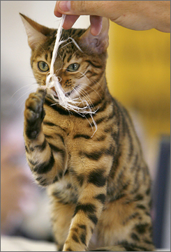 Bengals are active and intelligent and require a lot of attention.