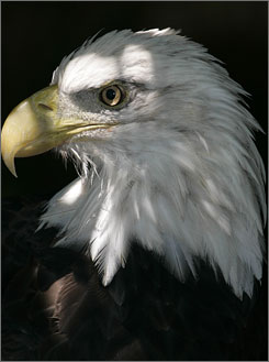 The bald eagle was declared the nation's symbol back in 1782.