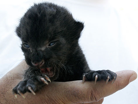 Baby panther cubs - photo#25