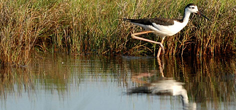 More Americans are taking up birdwatching as a hobby, learning to identify birds such as the black-necked stilt on sight.