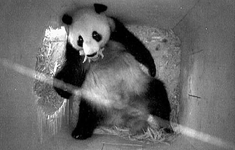 This surveillance camera photo, released by the Schoenbrunn zoo in Vienna, shows female panda Yang Yang holding her newborn baby in her mouth, Thursday. For the next two or three months, Yang Yang and her baby will live in the enclosed area where she gave birth. The panda's birth is Europe's first in 25 years.