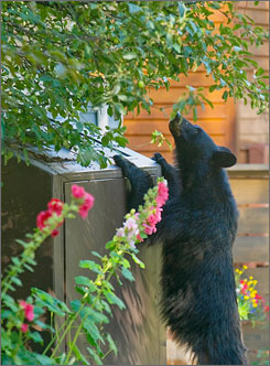 A bear sniffs around a trash can at an Aspen, Colo., alleyway.