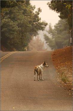 A pet dog wanders the streets after mandatory evacuations prompted by strong, gusting winds pushed flames through Pauma Valley, Calif.