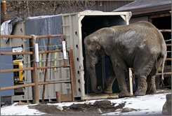 Maggie the elephant backs out of her travel kennel at the Alaska Zoo in Anchorage, Alaska, during a training session to familiarize her with the kennel.