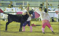 Members give a calf beer during the comedy portion of their performance.